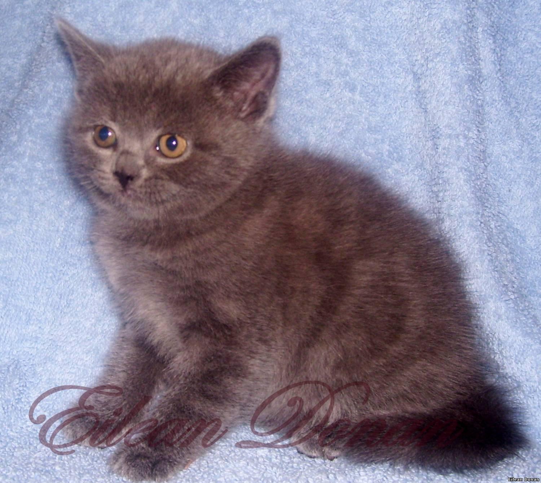 Окрас шотландских кошек с фото