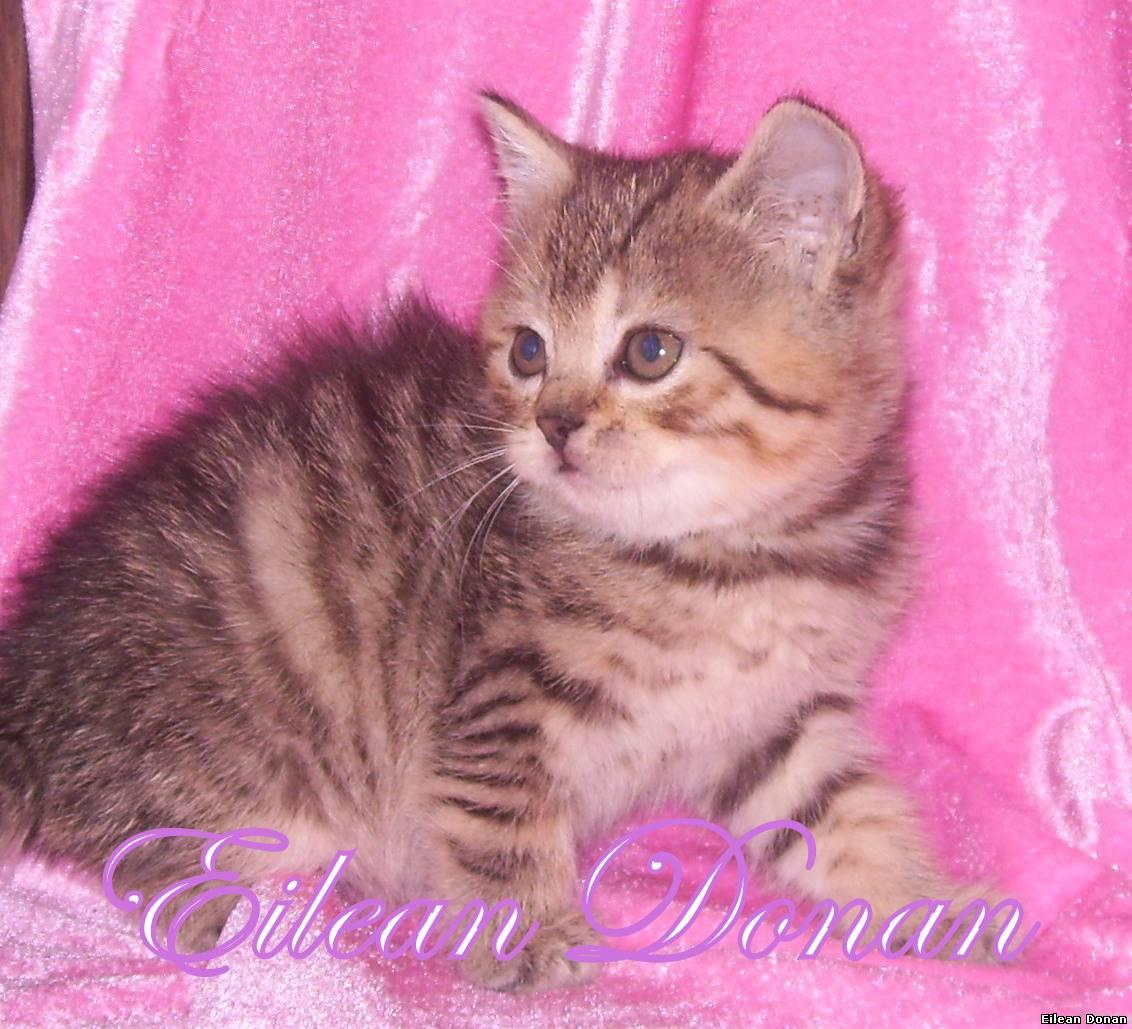 Шотландская вислоухая кошка скоттишфолд описание